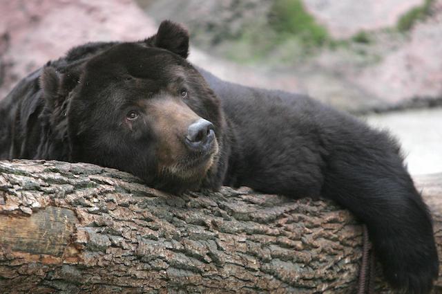 Il sonno profondo ingannatore degli orsi