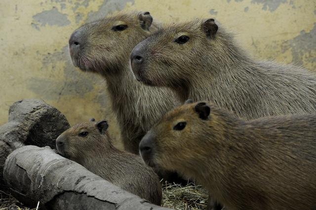 I capibara hanno bisogno di molto spazio e acqua