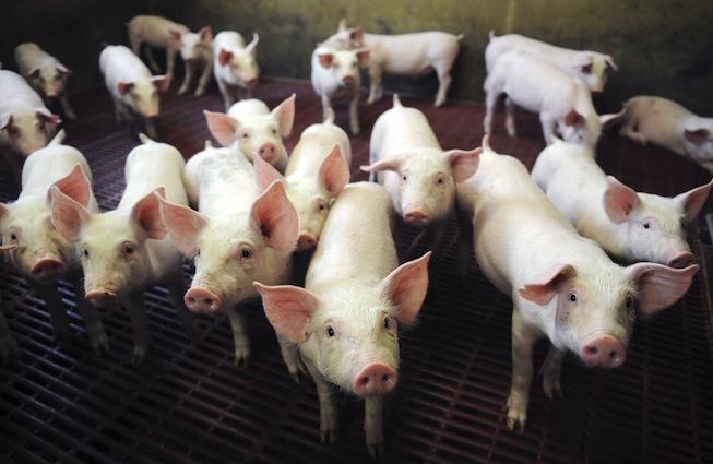 Empatia e stress fanno parte della vita dei maiali