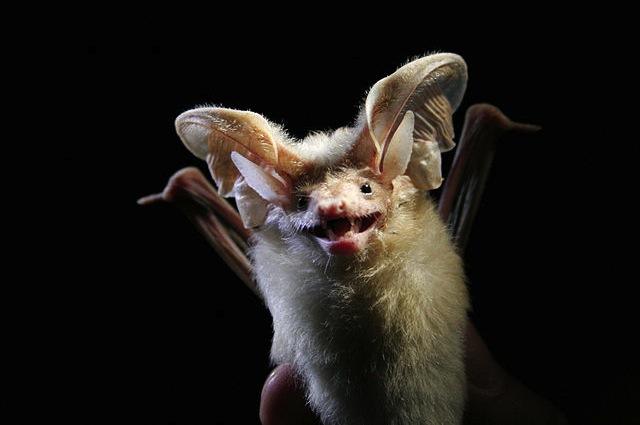 L'orecchione di Hemprich è il pipistrello più forte del mondo
