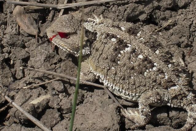 Short-horned_lizard_-_Charles_M_Russell_
