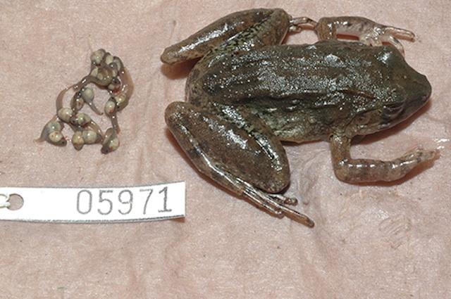 I girini partoriti dalla Limnonectes larvaepartus
