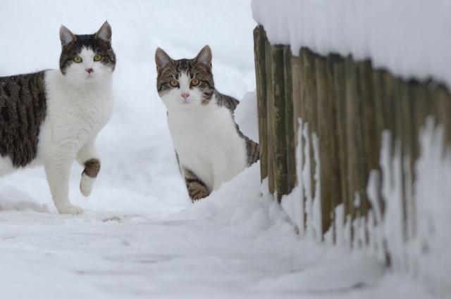 I gatti amano il freddo fuori casa e il tepore domestico