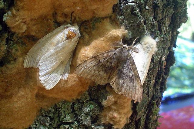 Da adulte sono le farfalle triangolari