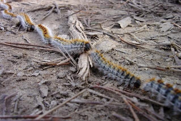 Le larve della processionaria si muovono in fila indiana