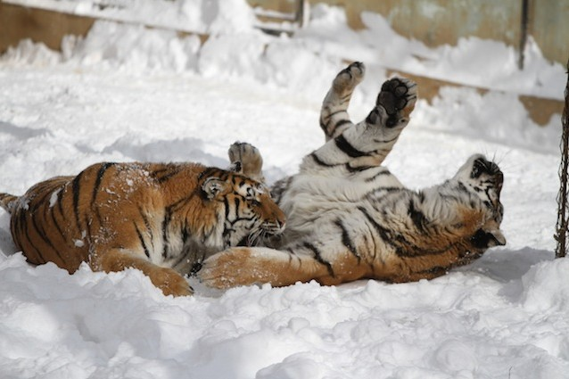 La tigre siberiana detta anche tigre dell'Amur