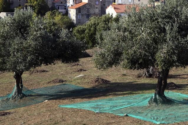 Il batteri xylella fastidiosa sta distruggendo gli ulivi della Puglia