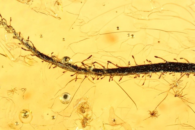 Il fossile di una pianta carnivora di 35 milioni di anni fa