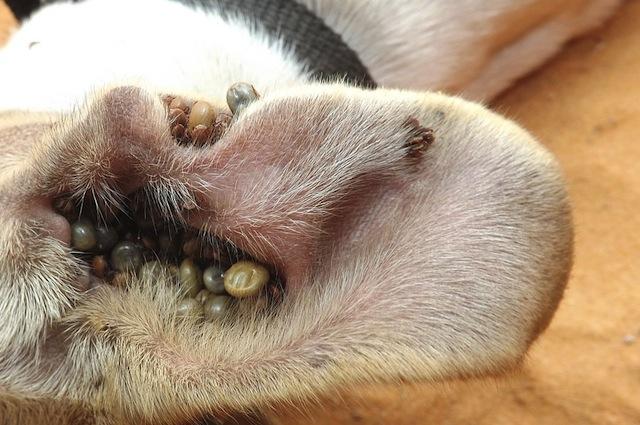 Ear Mites On Dogs Fur