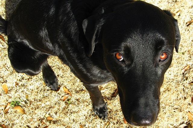 Sguardo colpevole? Il tuo cane non si sente in colpa, ha paura di te: smetti di sgridarlo