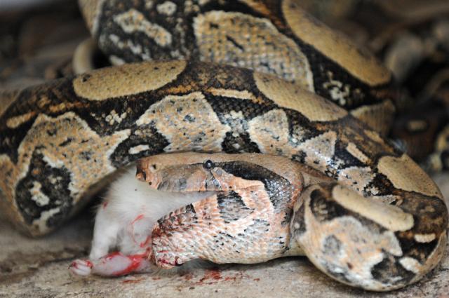 Ecco come il realtà il Boa Constrictor uccide le sue prede
