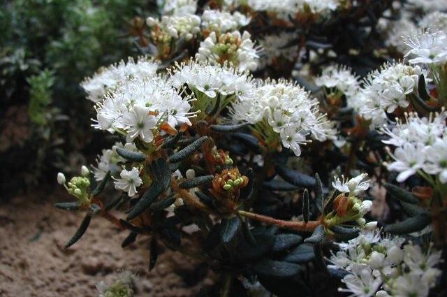 Il ledum palustre è un repellente naturale per zanzare (@Wikipedia)