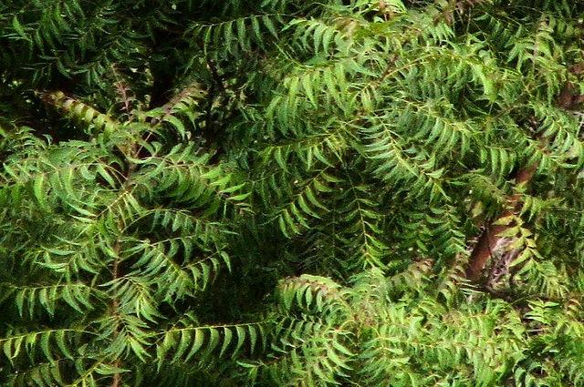 L'olio di neem è un ottimo anti zanzare naturale (@pranav)