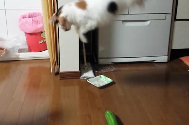 Perché i gatti sono spaventati dai cetrioli?