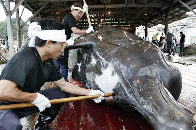 """Il Giappone ucciderà 333 balene all'anno """"per scopi scientifici"""""""
