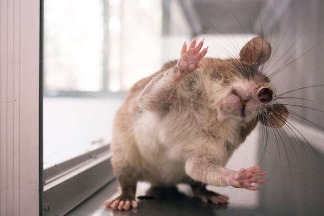 Scosse elettriche nel cervello dei topi per migliorare la memoria