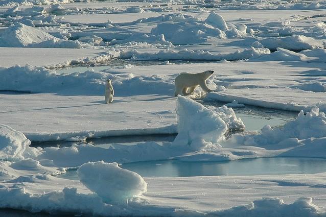 Gli orsi polari mangiano i cuccioli: è colpa del riscaldamento globale?