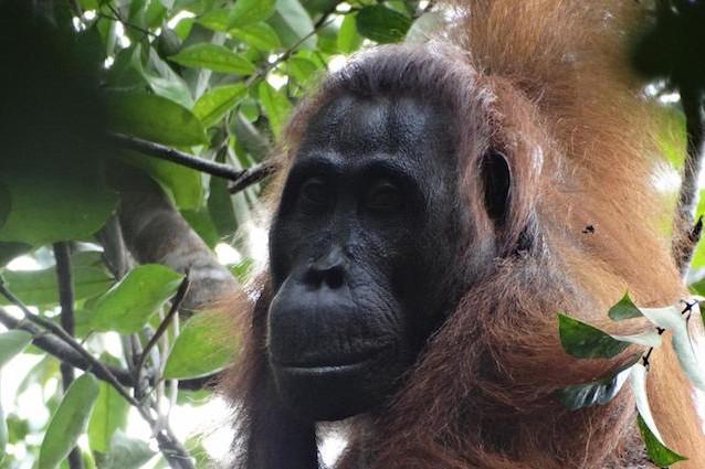 Coalizione tra maschi e femmine, una rissa tra Orango finisce nel sangue