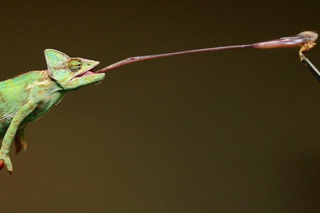 Svelato il segreto della super lingua del camaleonte