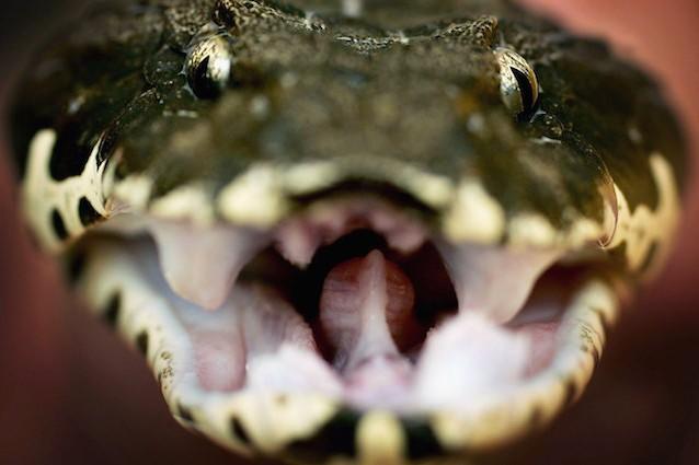 Come agisce il veleno dei serpenti all 39 interno del nostro for Veleno per serpenti
