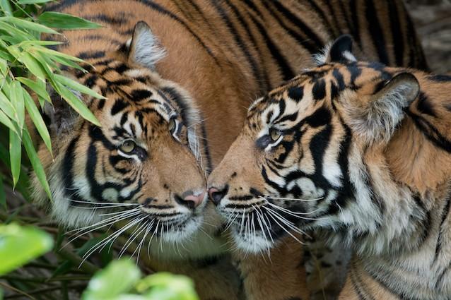 Buone notizie la popolazione delle tigri finalmente in for Disegni delle tigri