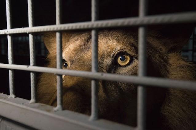 Dagli orrori del circo all'Africa, 33 leoni assaporano la libertà
