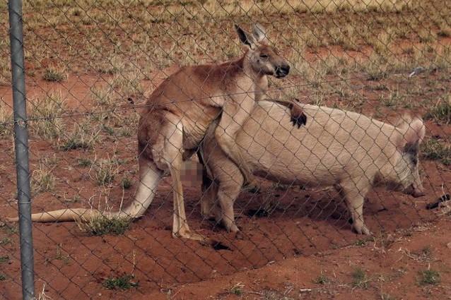 pene di canguro