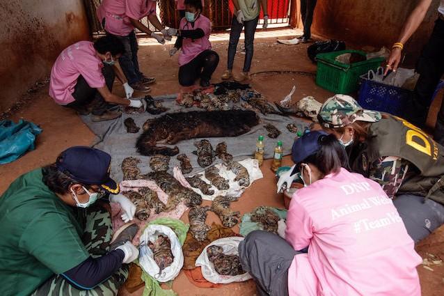 Thailandia, 40 cuccioli di tigre e un binturong nel freezer: il Tempio degli orrori