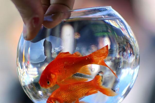 Il pesce rosso vive in un 39 ampolla 100 euro di multa e for Pesce rosso costo