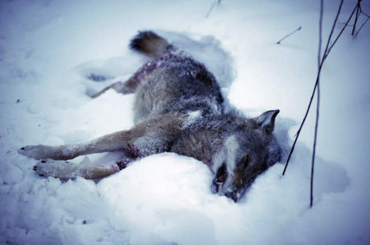 La Norvegia Promuove La Caccia Uccidere 7 Lupi Su 10 In Totale 47