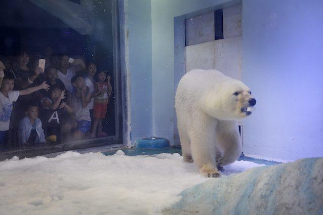 Pizza, l'orso polare più triste del mondo, liberato dal centro commerciale: ma ci tornerà