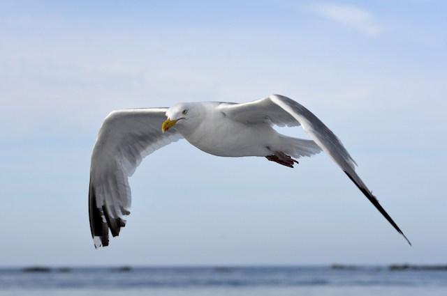 Sembra cibo, sa di cibo, ma non lo è: ecco perché gli uccelli mangiano la plastica