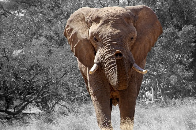 foto di pgeyr https://pixabay.com/it/elefante-namibia-africa-84186/