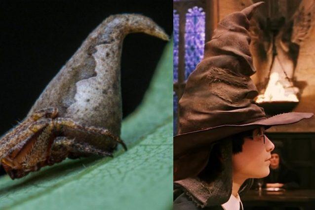 Il ragno a forma di Cappello Parlante di Harry Potter: la nuova specie appena scoperta
