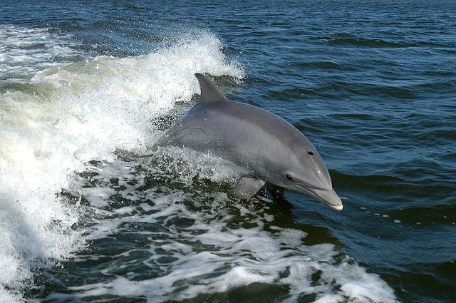 foto di PublicDomainsImages https://pixabay.com/it/delfino-tursiope-delfini-animali-386744/