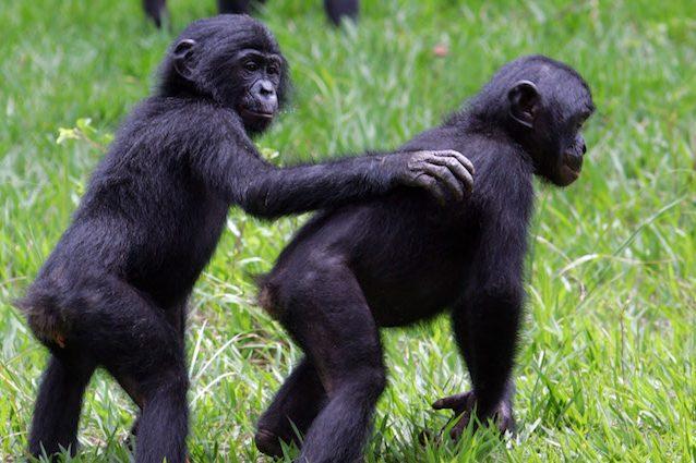 Perché dovrebbe interessarci che il 60% dei primati è a rischio estinzione