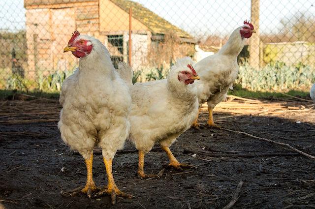 Le galline sono più intelligenti dei bambini di 6 anni: ecco perché