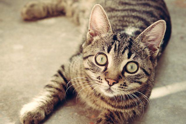 In australia stanno per uccidere due milioni di gatti - Cucina casalinga per gatti ...