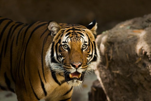siberian-tiger-1209680_640