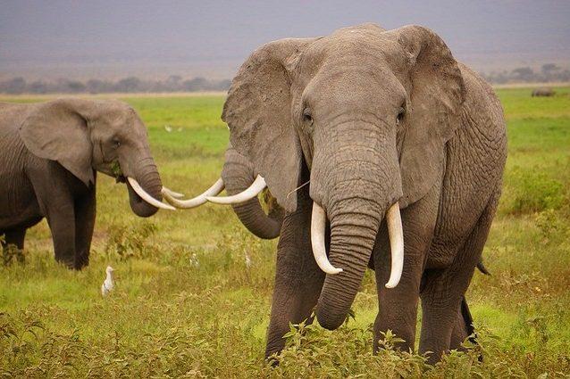 wild-elephants-1724217_640