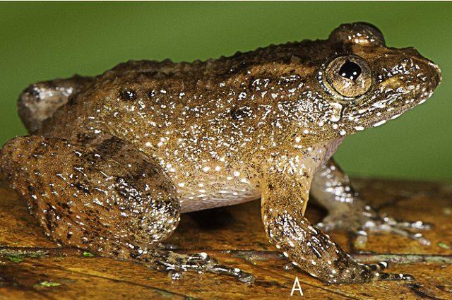 Nyctibatrachus athirappillyensis