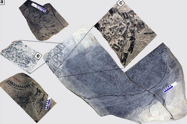 Il fossile del Dinocephalosaurus con i dettagli dell'embrione