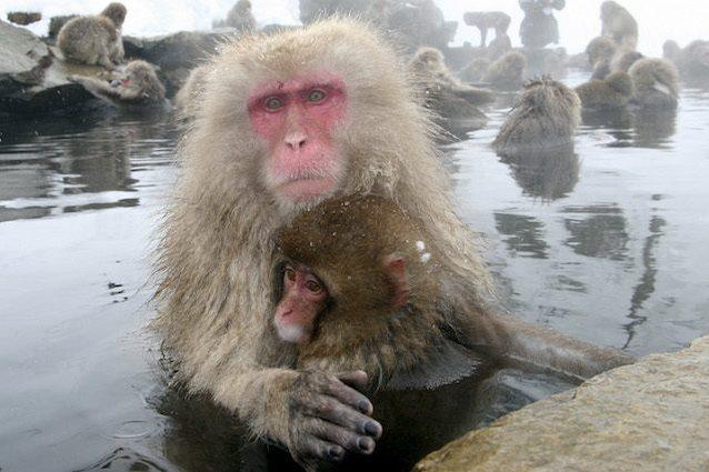 """57 scimmie uccise in uno zoo: avevano geni di """"specie aliene invasive"""""""