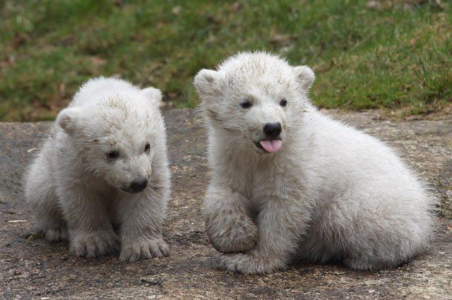 Giornata internazionale dell 39 orso polare cos possiamo - Orsi polari pagine da colorare ...