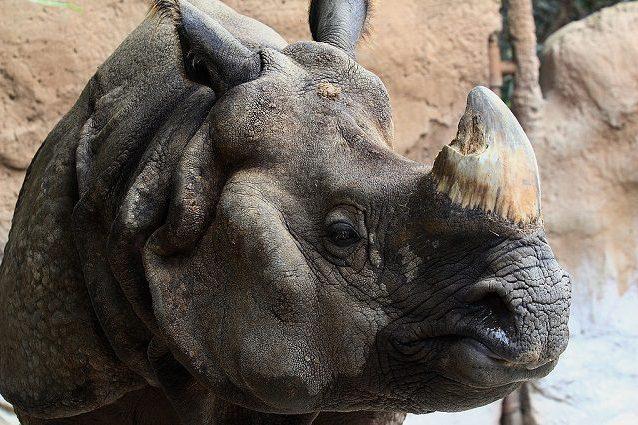 rinoceronte indiano