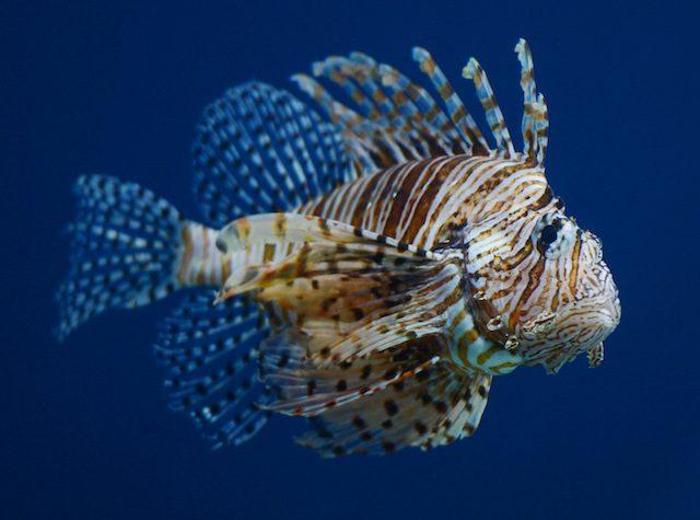 Pesce scoripone avvistato anche in acque italiane