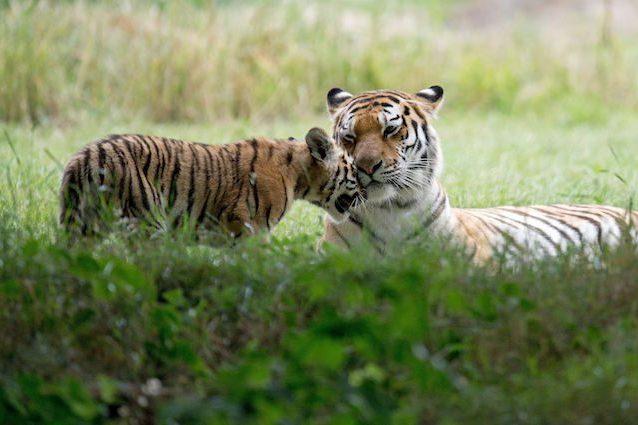 Un parco il 60% più grande di Yellowstone: così salveremo la tigre siberiana