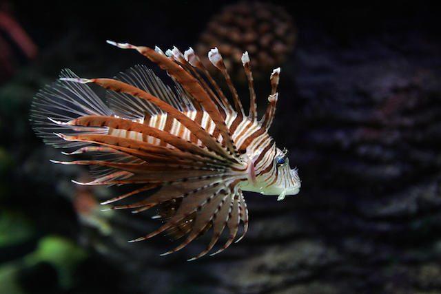 Pesce scorpione, prima segnalazione nelle acque italiane: