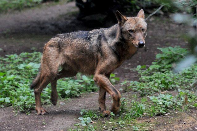 Le Regioni si schierano dalla parte del lupo e dicono NO all'abbattimento: quindi è salvo?