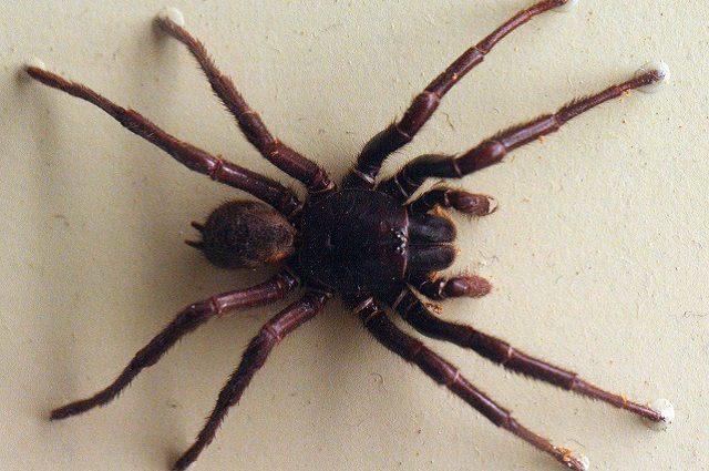 Il veleno di questi ragni riduce dell'80% i danni di un ictus
